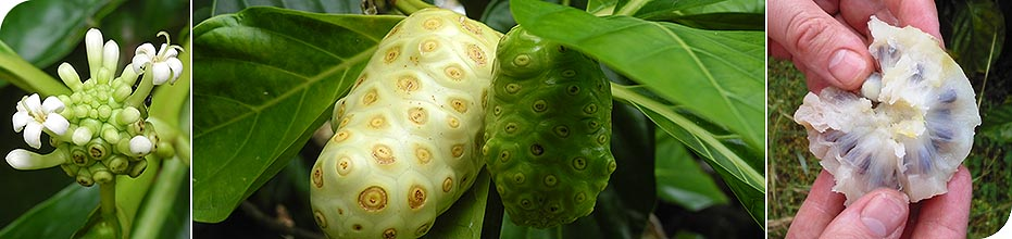 Paya Bay Resort - Roatan, Honduras : The Amazing Noni Fruit